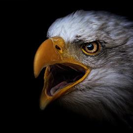 Bald eagle by Ondřej Chvátal - Animals Birds ( beak, natural, bird of prey, predator, nature, fauna, black, portrait, look, eyes, white, wings, feathers, background, bird, eagle, animal, animals, detail, zoo, hawk, wild, wildlife, czech,  )