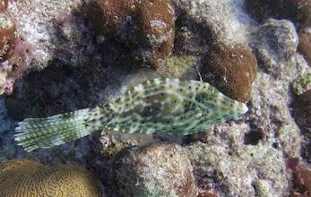 Photo: Scrawled Filefish#2