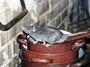Rat poisons have invaded wildlife food chains in Cape Town, according to new research.