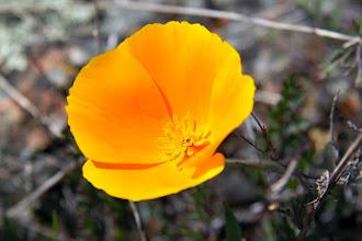 Photo: California Poppy