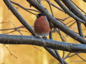 Photo: Male Bullfinch