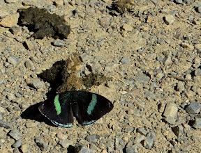 Photo: Peucestas Satyr (Pedaliodes peucestas)