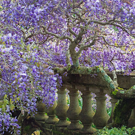 7424wisteria filoli tree by Kathy Eder - Flowers Tree Blossoms ( wisteria, flowers, beauty, purple, filoli,  )