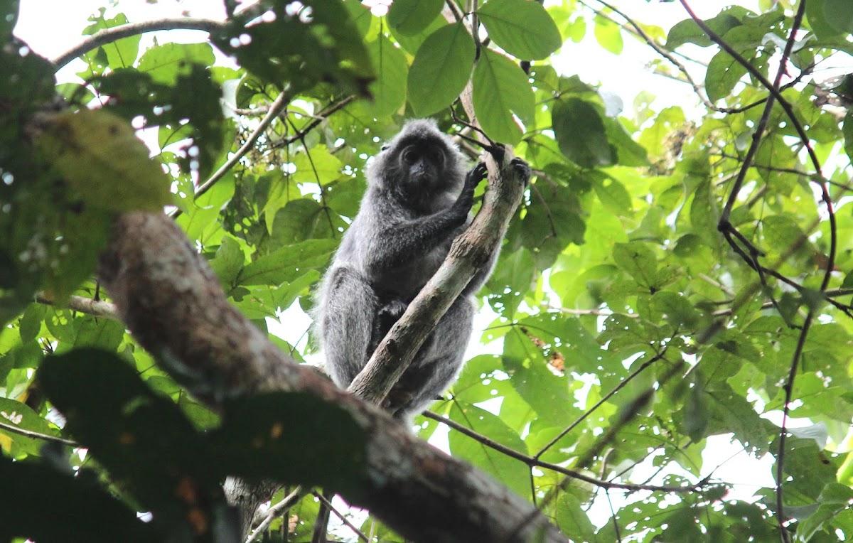 Silvered Leaf Monkey