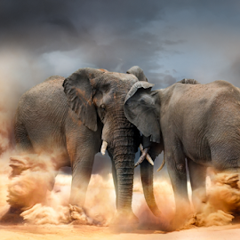Bulls fight by Mauritz Janeke - Animals Other Mammals ( elephants, fight, bulls, elephant, mauritz, pscc, lrcc, knp,  )