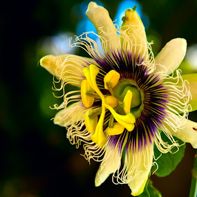 Maracujá by Marcos Lamas - Nature Up Close Flowers - 2011-2013
