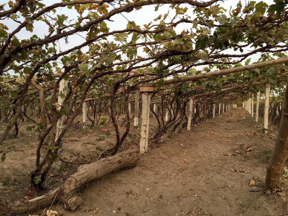 China. Xinjiang Turpan . Turpan vineyards