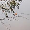 Lesser kestrel