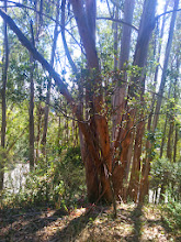 Photo: Cut the eucalypti, leave the little oaks.