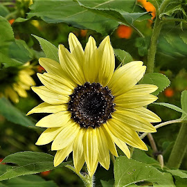 Sunflower in the garden by Mary Gallo - Flowers Flower Gardens ( nature, nature up close, sunflowers, flower )