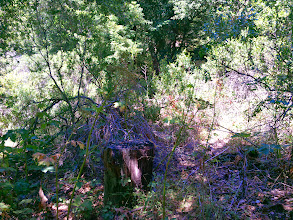 Photo: eucalyptus stump