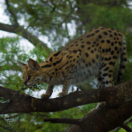 Serval cat  by Jason C Robinson - Animals Lions, Tigers & Big Cats ( africa, serval, tree, spots, big cat )