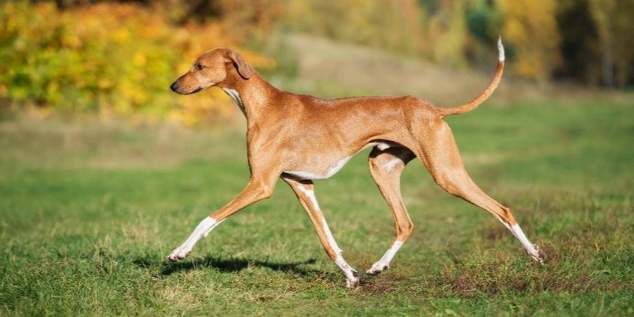 5e race de chien la plus chère: Azawakh