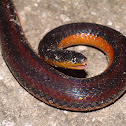 Chiapas Burrowing Snake, orange-bellied variant