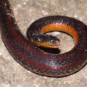 Chiapas Burrowing Snake, orange-bellied variant