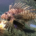 Indo-pacific Red Lionfish