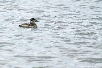 Photo: Ruddy duck, Quidi Vidi 4 Dec 2013