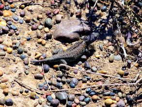 Photo: Matuasto lizard