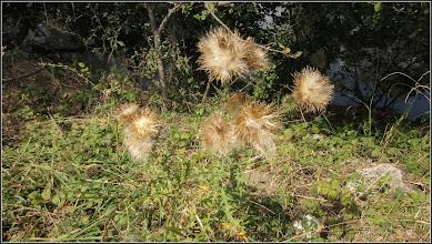 Photo: Turda, dig Poiana, scaiete (cirsium vulgare) - 2019.09.04
