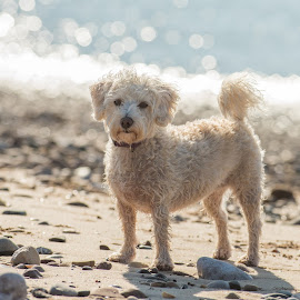 by Janet Packham - Uncategorized All Uncategorized ( white, beach, dogs, canine )
