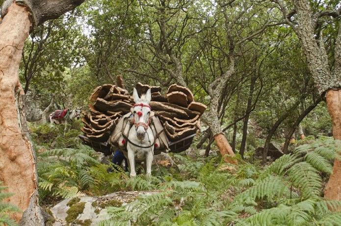 Dehesa, el bosque del lince ibérico