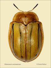 Photo: Hilarocassis exclamationis, 11,5mm. Costa Rica, Rincon de la Vieja (10°45´/-85°21´), leg. Gernot Kunz, det. Lech Borowiec