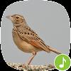 Appp.io - قبرة أصوات الطيور APK