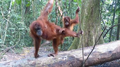 Photo: Et af tre steder i Indonesien, hvor orang-utan findes