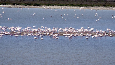 Photo: Flamingos roosting around a spit of land