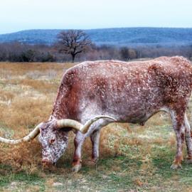 Texas Longhorn  by Rob Baker - Animals Other Mammals ( wildcatter, longhorn, texas )