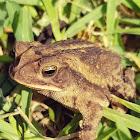 Coastal plains toad