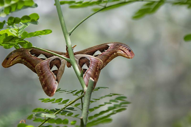 farfalla tailandese di antonioromei