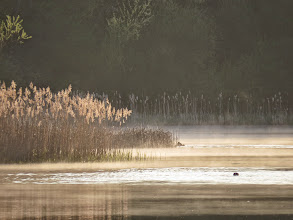 Photo: Priorslee Lake A few wisps of mist (with 2 Coots just about visible). (Ed Wilson)