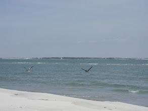 Photo: Pelicans on Bird Shoal