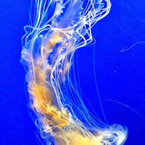 Lone Jelly... by Charline Ratcliff - Animals Sea Creatures ( up close, sea life, nature, white, marine life, jellyfish,  )