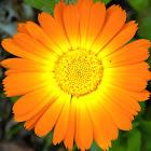Common marigold