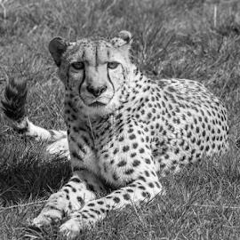 Cheetah by Garry Chisholm - Black & White Animals ( nature, cheetah, hamerton, big cat, garry chisholm )