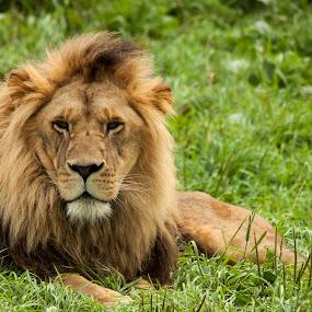 by Francois Larocque - Animals Lions, Tigers & Big Cats ( big cat, face, lion, cat, portrait, green grass )