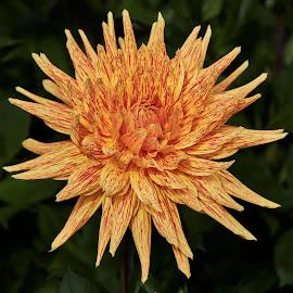 Dahlia 9996~ by Raphael RaCcoon - Flowers Single Flower