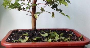 perda de folhagem cuidados com bonsai