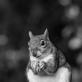 Squirrel by Garry Chisholm - Black & White Animals ( mammal, nature, grey squirrel, rodent, garry chisholm )