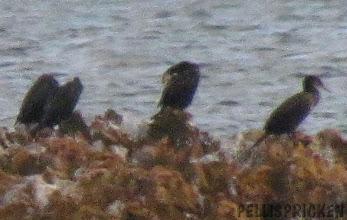 Photo: Jag vänder min blick ut mot havet och ser fåglar, svarta som natten långt ut. De står på några stenar.. Vågorna plaskar över dom... Tyvärr blev kortet lite suddigt