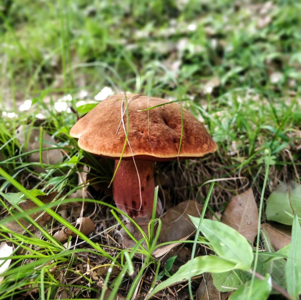 edible+mushroom+jungle+around+manali+travels+kullu+himachal+pradesh