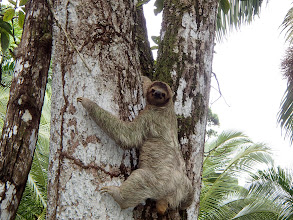 Photo: Sloth! It actually came down off of its tree to poop - they do that once a week