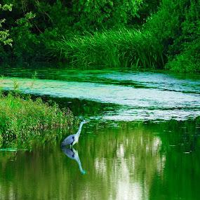 Green Waters  by Scott Williams-Collier - Animals Birds