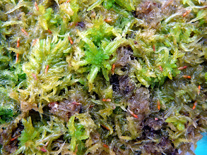 Photo: Catopsis berteroniana Samen / seeds