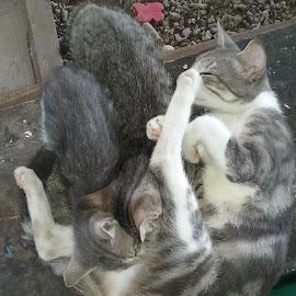 by Joe Talmut - Animals - Cats Playing