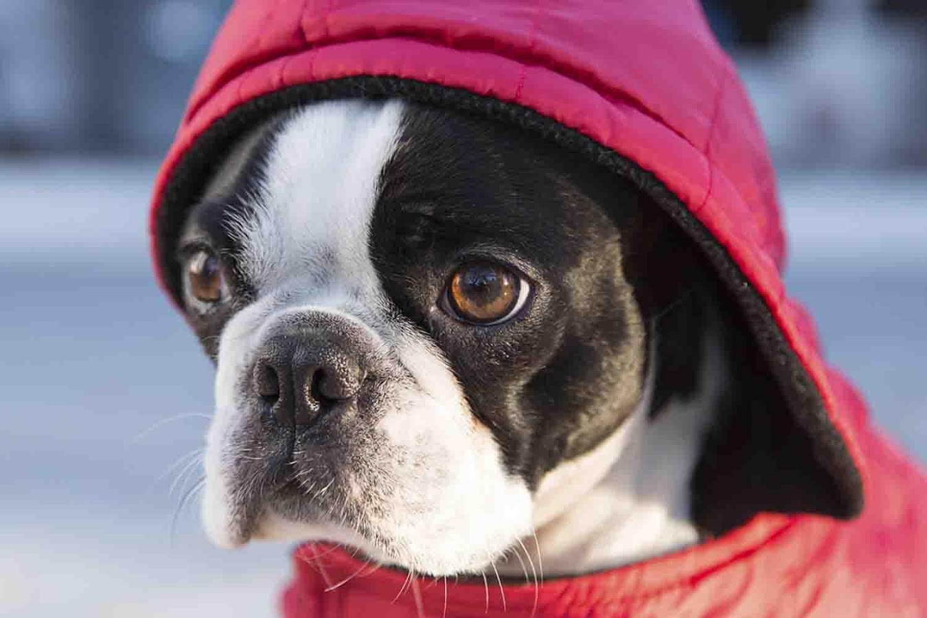 boston terrier wallpapers android apps on google play