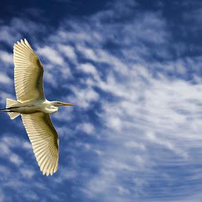 Great Egret by Pete Bobb - Animals Birds ( flight, great, feathers, egret, pan,  )