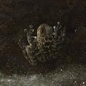 Black-spotted skipper frog